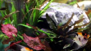 Fische im aquarium — Stockvideo