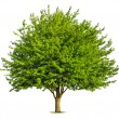Nice deciduous tree on white — Stock Photo #53022531