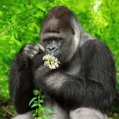 Gorilla observing a bunch of flowers — Photo