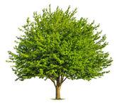 Nice deciduous tree on white — Stock Photo
