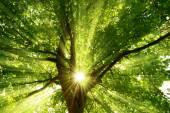 Sunrays dramatically falling through a tree — Stock Photo