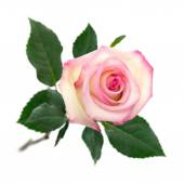Open pink rose on white — Stock Photo