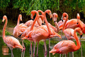Group of red flamingos — Stock Photo