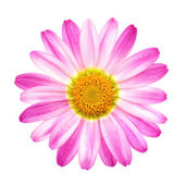 Perfect pink daisy on pure white — Stock Photo