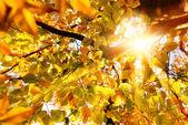 Sun shining through golden leaves — Zdjęcie stockowe