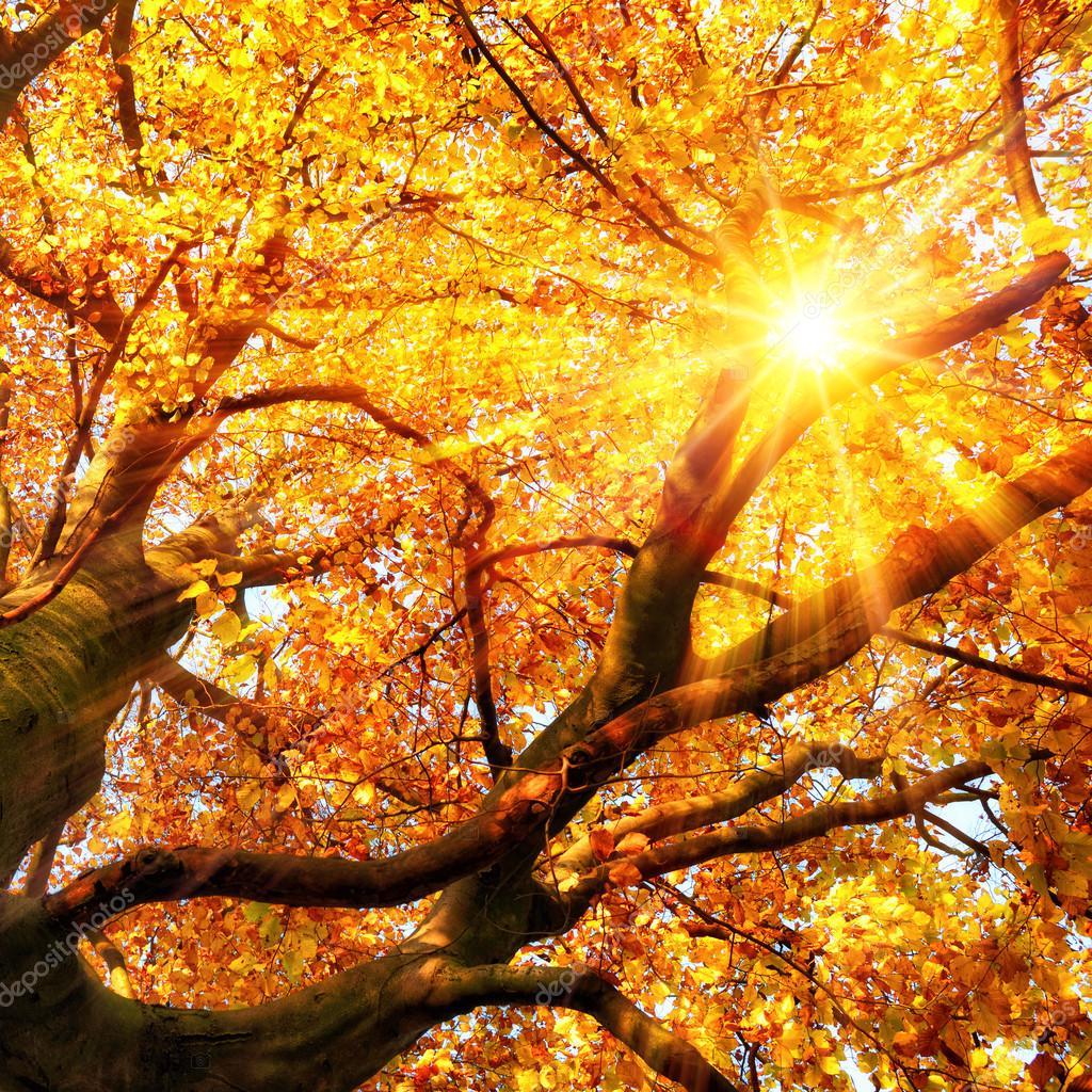 Le soleil d 39 automne qui brille travers des feuilles d 39 or - Image feuille automne ...