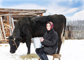 Woman with  bucket milking near cow — Stock Photo