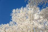 Ramas de los árboles cubiertas de nieve — Foto de Stock