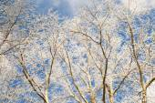 Tree branches covered with snow — Stock Photo
