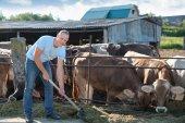 Bauer arbeitet auf Bauernhof mit Milchkühen — Stockfoto