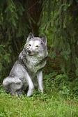 Grey wolf under the fir tree — Stock Photo