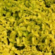 Yellow Coleus leaves — Stock Photo #61987543