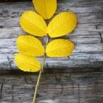 Dog rose twig at the autumn season — Stock Photo #67839619