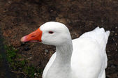 White Duck — Stock Photo