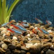 Little fishes in an aquarium — Stock Photo #68172431
