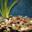 Little fishes in an aquarium — Stock Photo #68172441