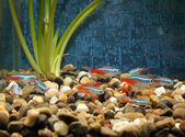 Little fishes in an aquarium — Stok fotoğraf