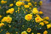 Yellow rose briar bush flowers nature background — Stock Photo