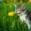Black and white kitten meowing cat cries sitting in green grass — Stock Photo #72403935