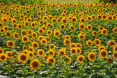 Background lot of sunflowers summer landscape screen saver for y — Stock Photo