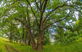 俄罗斯景观绿橡树森林老树枝广泛性质 — 图库照片