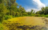 Swamp sucked duckweed green with blue sky in the forest landscap — Stock Photo
