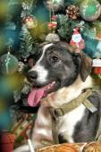 Dog in Christmas — Stock Photo