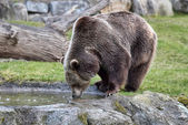 Acqua potabile di orso bruno — Foto Stock