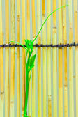Ivy shoots on  Japanese bamboo blind — Stock Photo