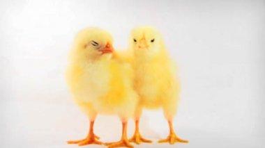 Chicken Kiss — Stock Video