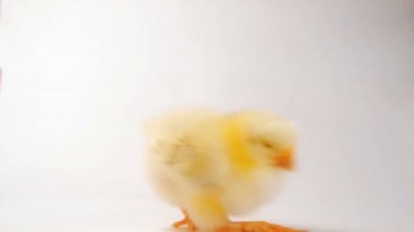 Crazy chicken dance :) — Wideo stockowe