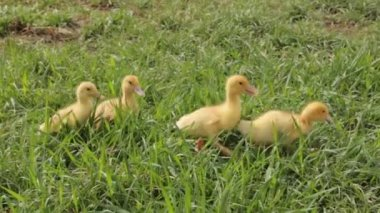Little ducklings — Stock Video