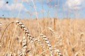 Wheat Field — Stock fotografie