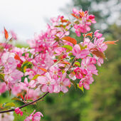 Pink flowers on branches. Tree in spring. — Stock Photo