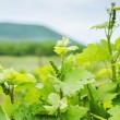 Lush Grape Vineyard in the field. Russia. — Stock Photo #67985081