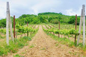 Landscape with vineyard's rows in south — Stock Photo