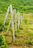 Hill With Vineyard In The Russia Region — Stock Photo