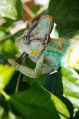 Yemen chameleon — Stock Photo