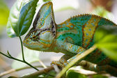 Yemen chameleon is sitting on the branch  and hunting the cockroach — Stock Photo