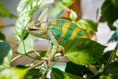 Yemen chameleon — Stock Photo