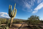 Cactus Saguaro — Photo