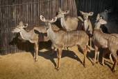 Close-up portrait picture of Kudu  — Stok fotoğraf