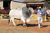 White Brahman bull lead by handler photo — Photo