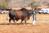 Brown Brahman bull lead by handler photo — Stock Photo