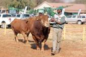 Dexter bulls being lead in arena by handlers. — Stock Photo