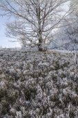 Old huge tree with branches covered with hoarfrost  — Stockfoto