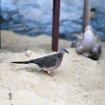 Dove on the beach — Stock Photo #60999737