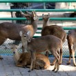 Deer in the zoo   — Stock Photo #65821157