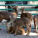 Deer in the zoo — Stock Photo #65821157