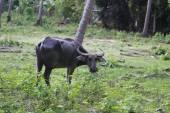 Thai black cow  — Stockfoto